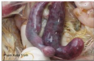 manh tràng gà bị bệnh cầu trùng
