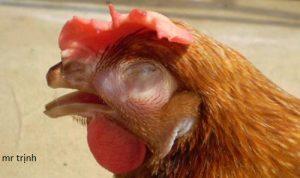 cắt mỏ gà